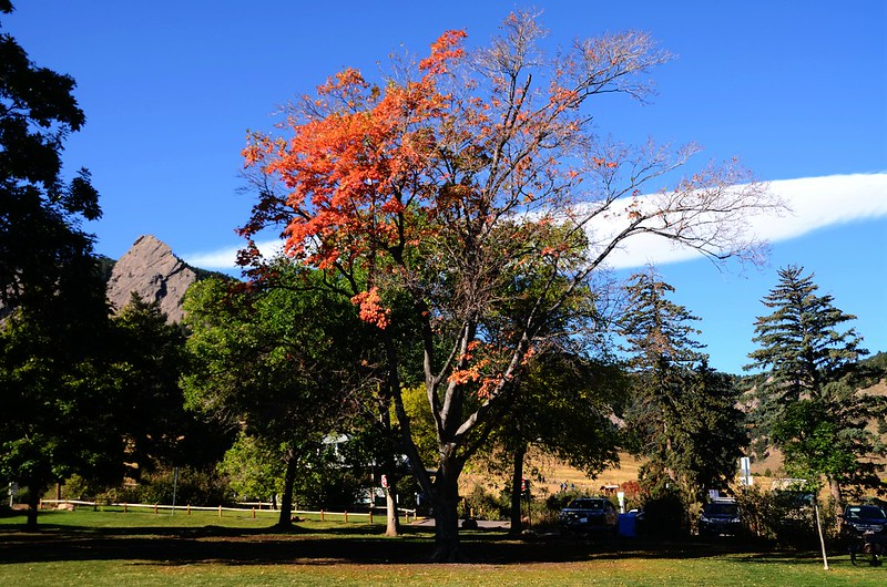 Maple in Fall, Boulder (28)