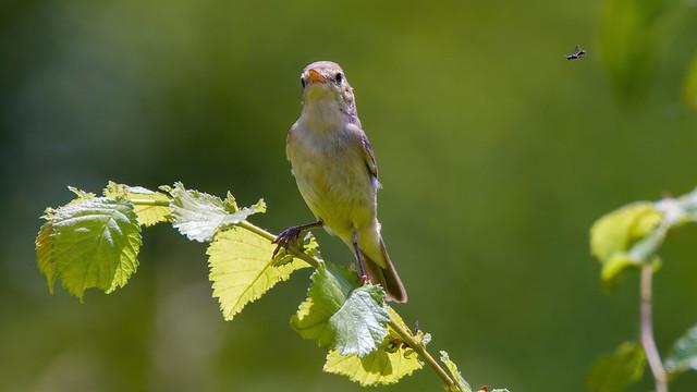 Melodious Warbler - Hypolais polyglotte (1/3)