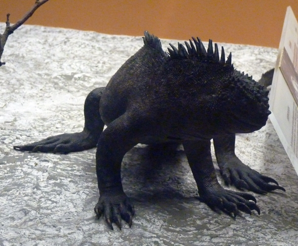Amblyrhynchus cristatus 48989939526_04a566d080_o