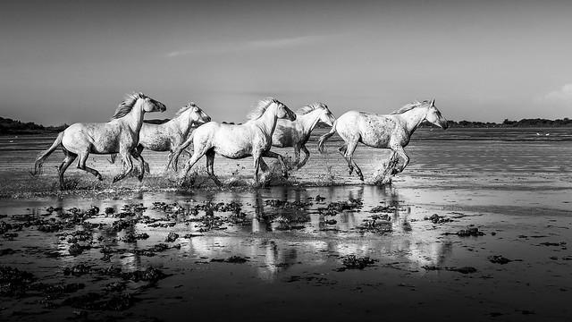 chevaux de camargues étang recadré bw-9627