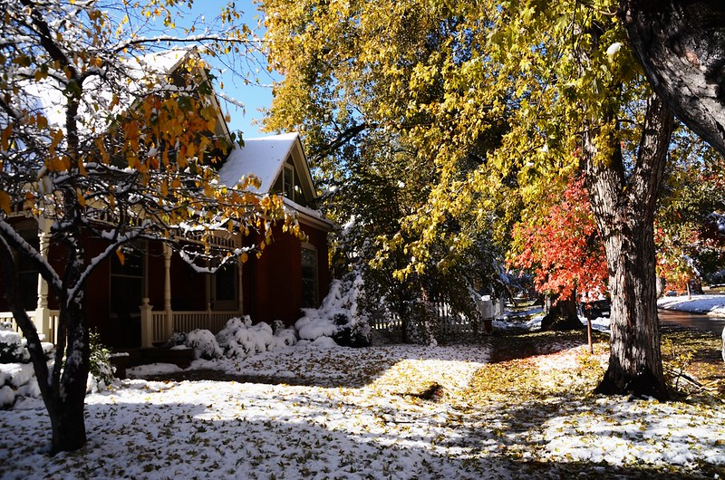 Maple in Fall after snow, Boulder (49)