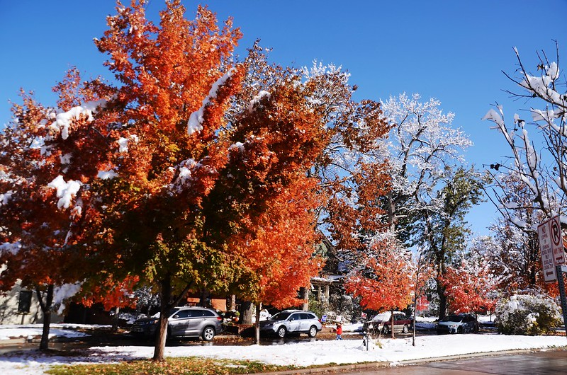 Maple in Fall after snow, Boulder (35)