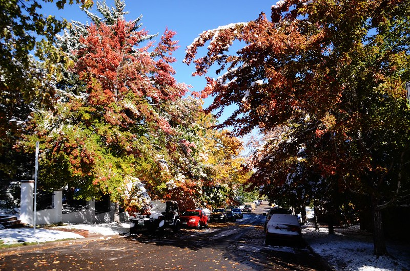 Maple in Fall after snow, Boulder (14)
