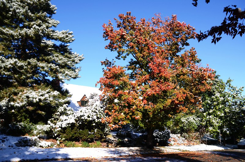 Maple in Fall after snow, Boulder (8)