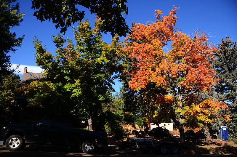 Maple in Fall, Boulder (26)