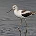 Flickr photo 'American Avocet (Recurvirostra americana)' by: Mary Keim.