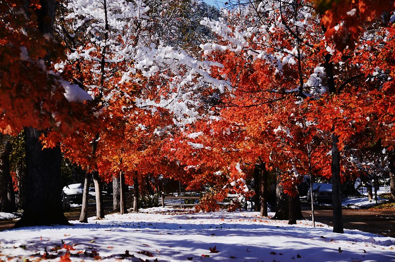 Maple in Fall after snow, Boulder (44)
