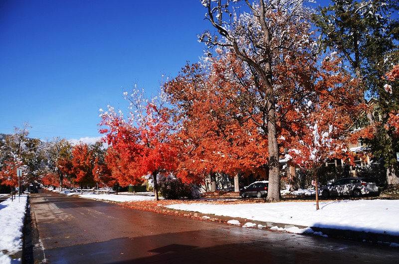 Maple in Fall after snow, Boulder (43)
