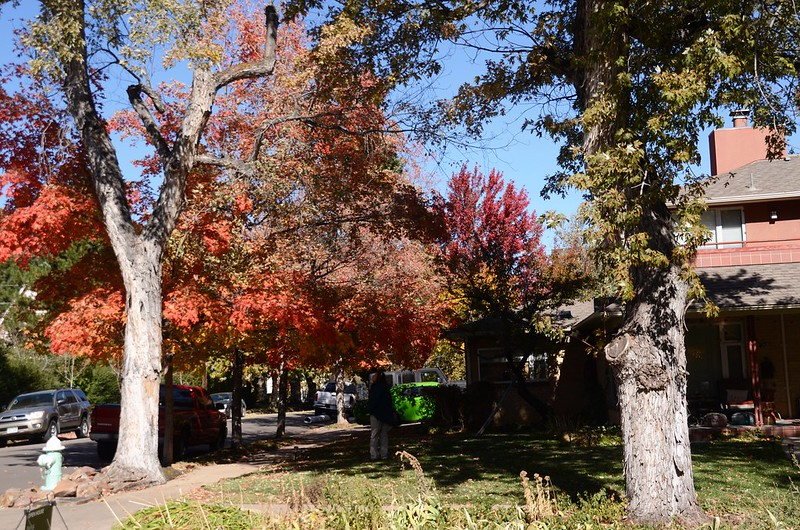 Maple in Fall, Boulder (76)
