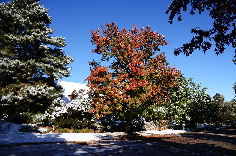 Maple in Fall after snow, Boulder (9)