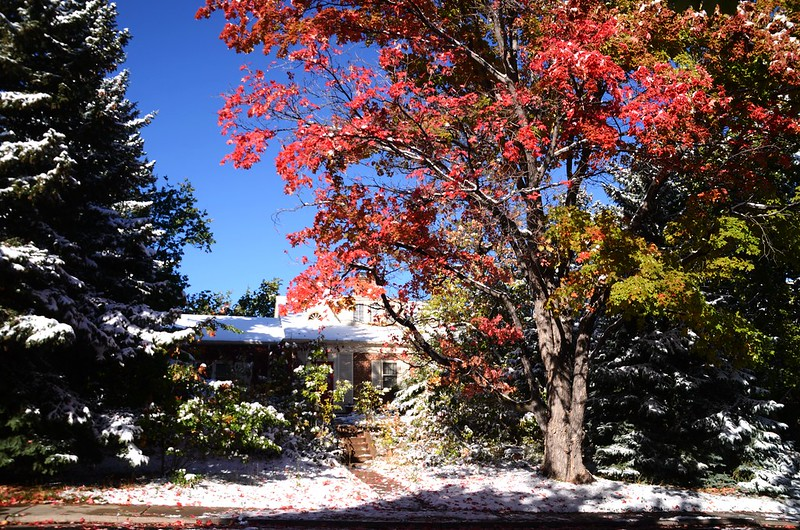 Maple in Fall after snow, Boulder (2)