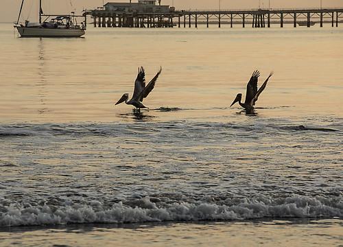 california sanluisobispocounty beach avilabeach coast water surf pelicans bird shore pelecanusoccidentalis wildlife sunset boat silhouette wave wings avilastatebeach sanluisbay