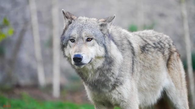 Wolf - 7633