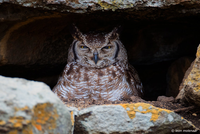 Nesting Spotted Eagle-Owl