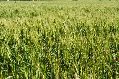 Recorrida con productores del  Cinturón Verde - Producción agroecológica de trigo