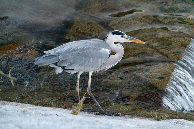 heron catching fish along the Kamo River