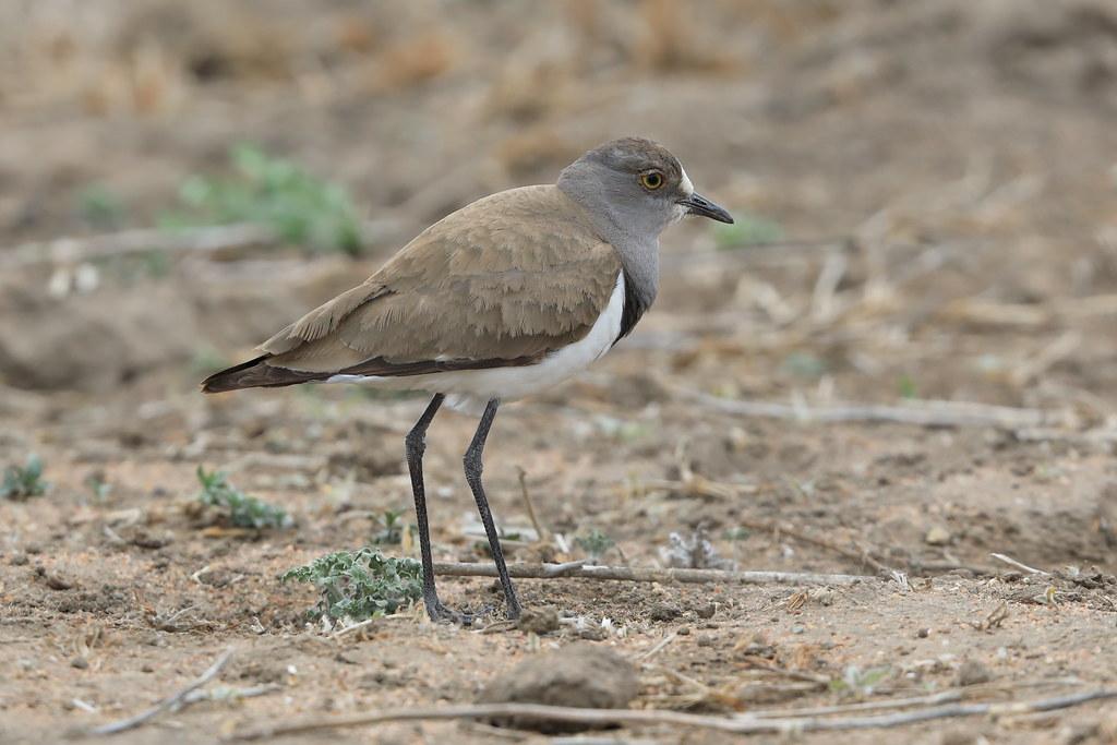 Senegal Plover  Stephanibyx lugubris
