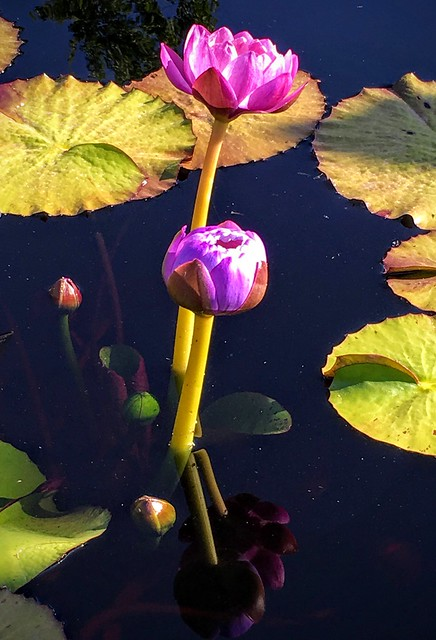 Water Lilies Reflections