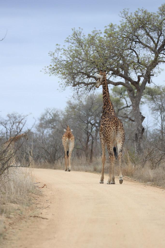 Giraffe block