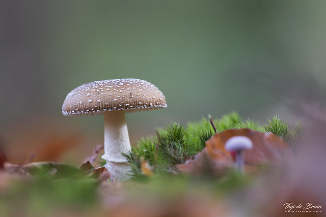 Panthercap Mushroom - Panteramaniet