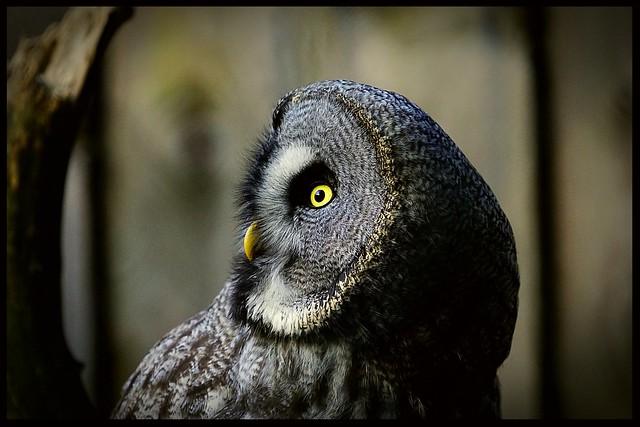 Bartkauz /// Great Gray Owl