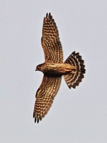 Merlin in flight 02-20191031