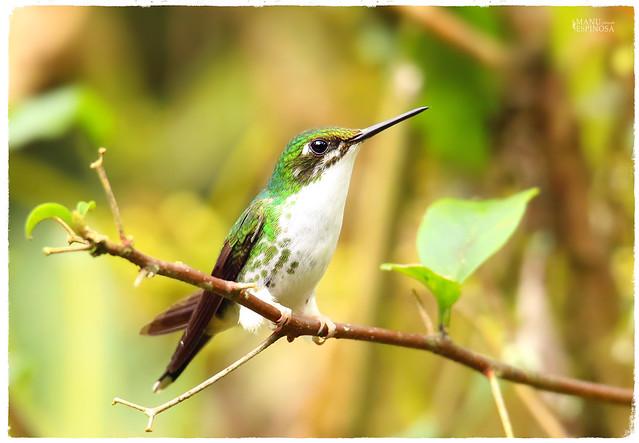 Colibrí Cola de Raqueta del Occidente hembra, Ocreatus underwoodii ♀, Booted Racket-tail female. Alambi, Pichincha, Ecuador