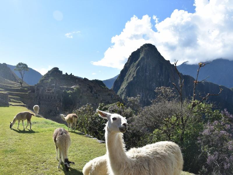 Alpacas Machu Picchu