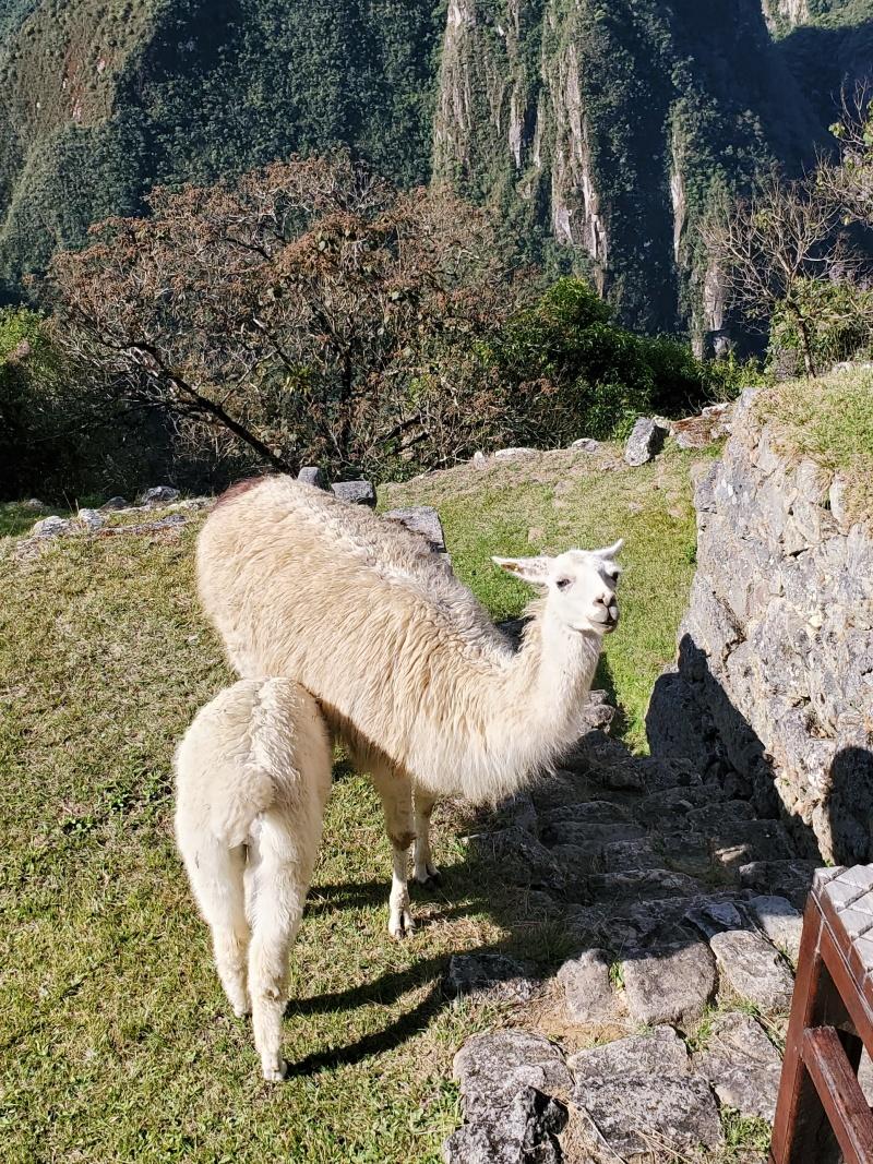 Machu Picchu alpacas llamas