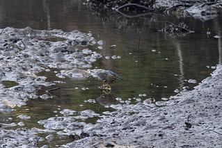 Striated Heron20191031_006 | by Katie Cordes