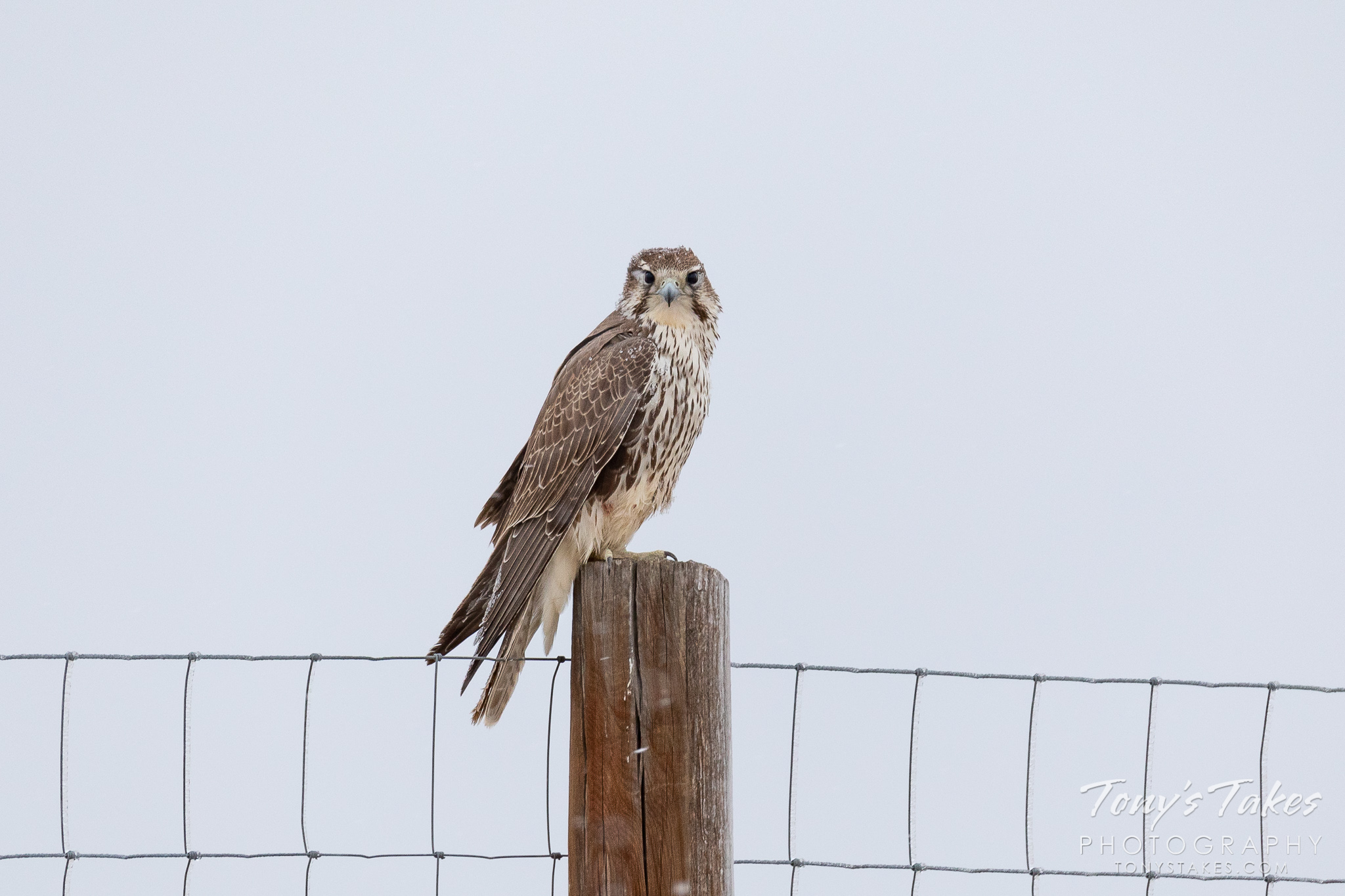 A prairie falcon weathers a cold, fall day in Colorado. (© Tony's Takes)