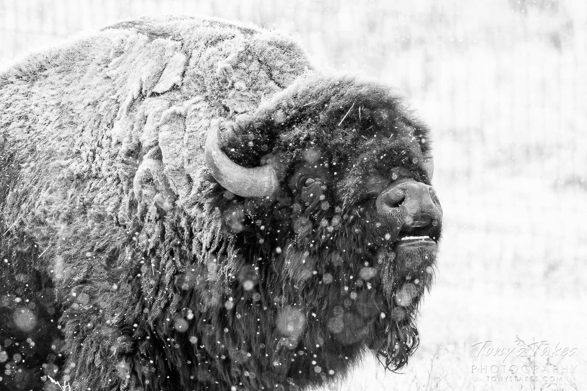 A bison bull does the fleman response in a snowstorm in Colorado. (© Tony's Takes)