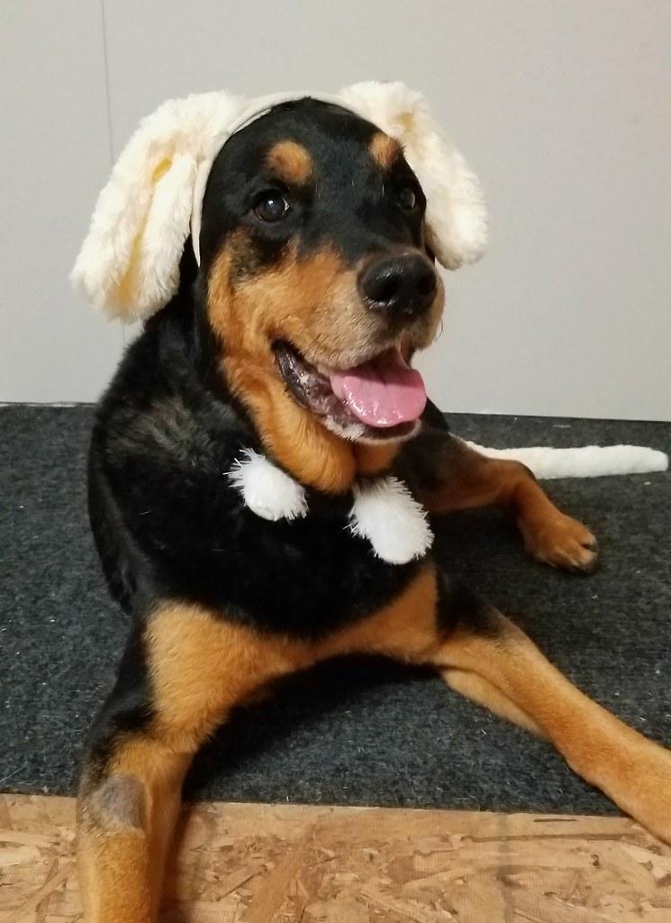 sasha rottweiler dog costume
