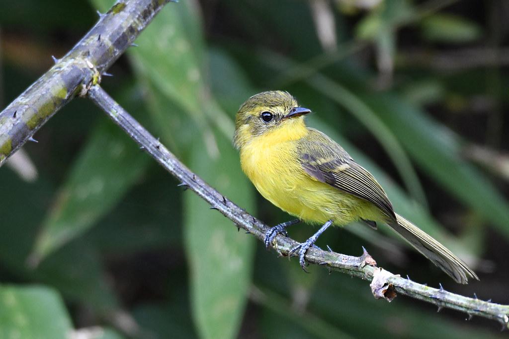Yellow Tyrannulet // Marianinha-amarela