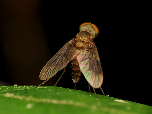 Male Snipe Fly