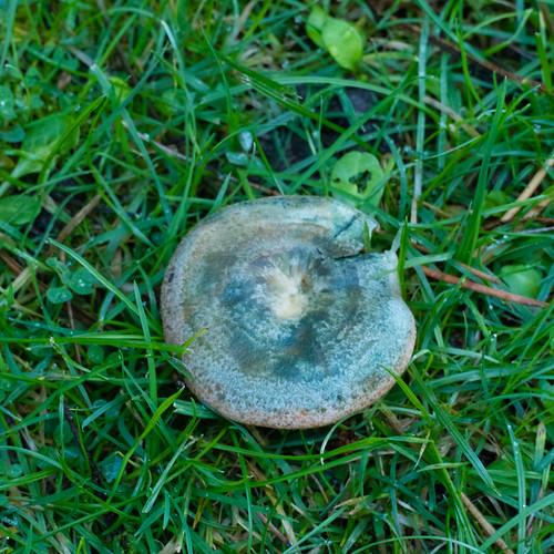 False saffron milk cap in short grass, West Park