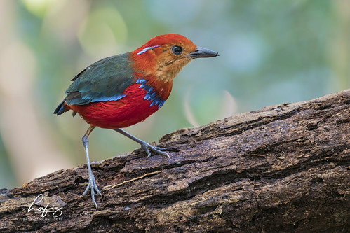 Blue-banded Pitta (Pitta arquate)