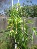 Mango Tree by Ben Baligad