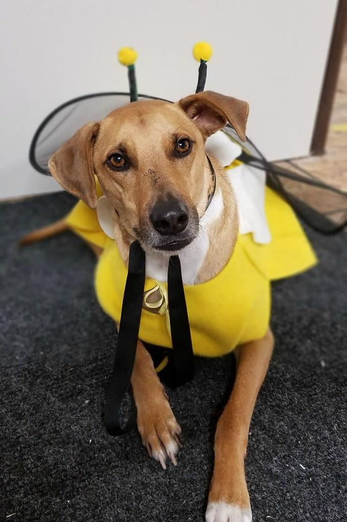 zac potcake bumblebee dog costume