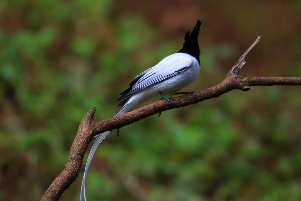 Indian paradise flycatcher, male