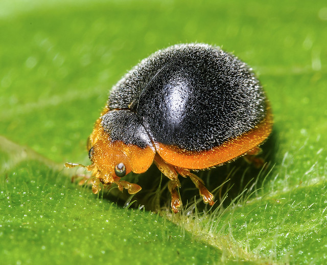 Lady Beetle - Anovia circumclusa (Coccinellidae, Ortaliinae, Noviini) 110p-6634