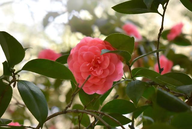 Rose Descanso Gardens
