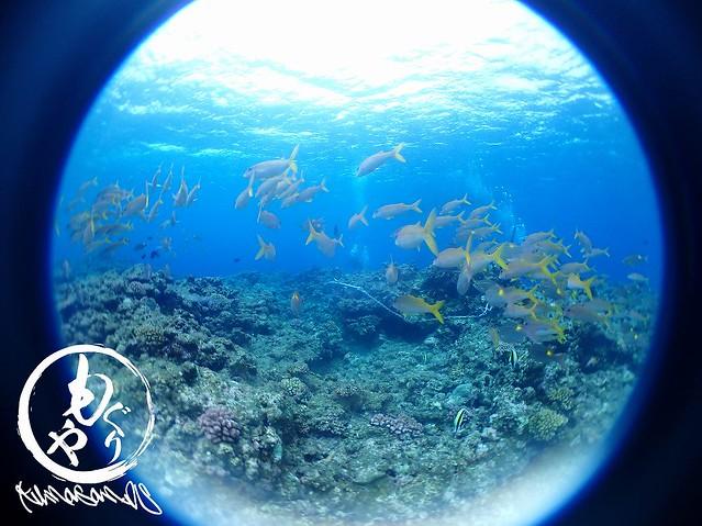 アカヒメジ×ノコギリダイ×青い海=最高