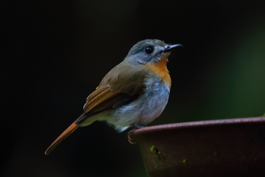 White-bellied blue flycatcher, female