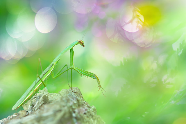 Mantids | 大螳螂