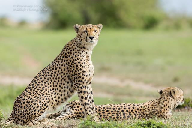 Male Cheetah's - Acinonyx jubatus