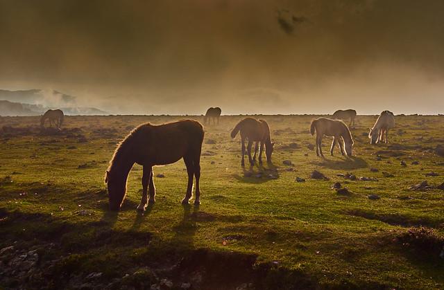 Wild horses in the fog