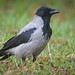 Hooded Crow - Photo (c) hedera.baltica, some rights reserved (CC BY-SA)