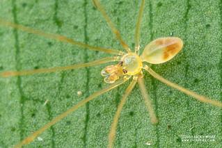 Daddy-long-legs spider (Belisana sp.) - DSC_8872b