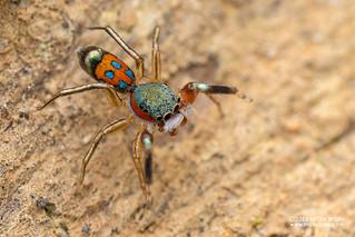 Jumping spider (Siler semiglaucus) - DSC_9509